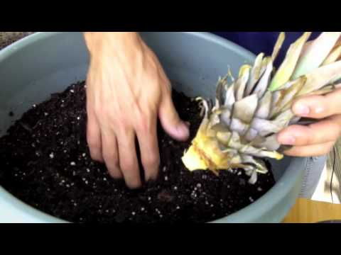 Pineapple Plants: How to Grow a Pineapple