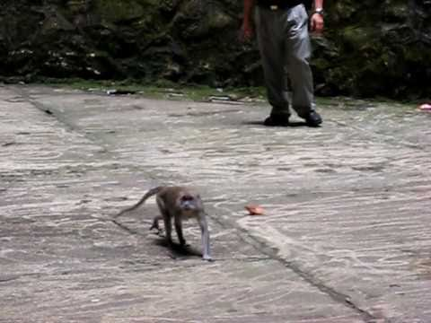 Malay Monkeys 5