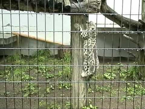 09年07月13日 ユキヒョウの赤ちゃん(円山動物園) 外で遊ぶ様子