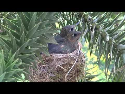Historia de un nido de picaflor