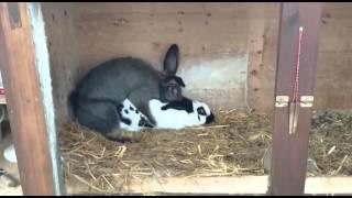 Erken boşalma sorunu olan tavşan :D