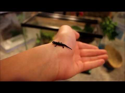 BIG UPDATE! Baby Fire Belly Newt!