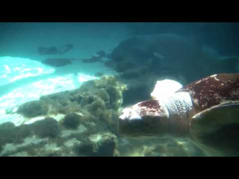 Tiger Sand Sharks And Giant Sea Turtles Swimming Together Up Close!