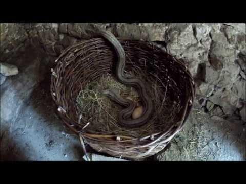 Tube of music get for Serpente cervone