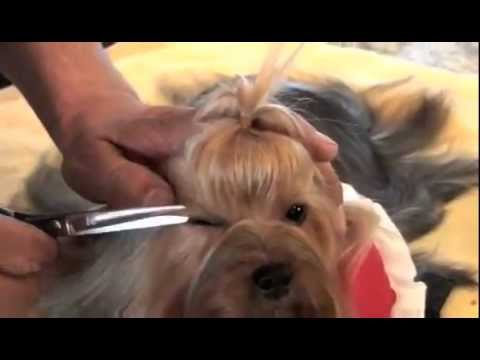 Yorkshire Terrier Show Grooming Part 2 Of 2 Show Prep