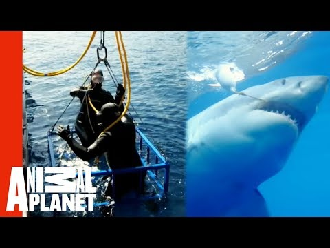 Great White Snaps Cage in Half | World s Scariest Animal Attacks