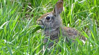 Panasonic ZS20 Video Test 1080p - Rabbit in grass Full HD