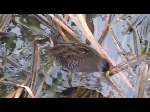 Sora rail, Laguna Madre Nature trail, South Padre Island, Texas