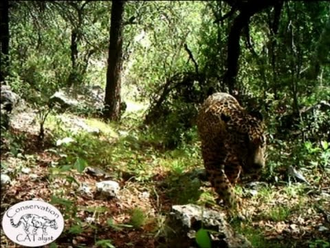 Raw: Video Shows Only Known Wild Jaguar in US