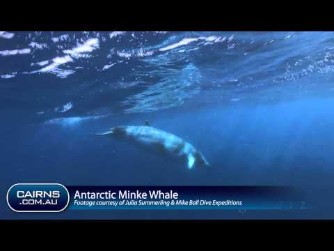 Antarctic Minke Whale encounter on The Great Barrier Reef