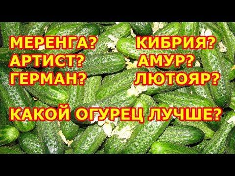 Сорт огурцов Амур – мои отзывы о выращивании (Ленинградская область)