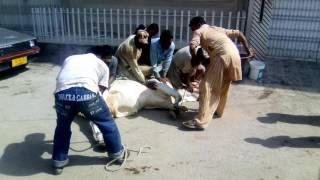 cow qurbaani 1st day of eid 2016