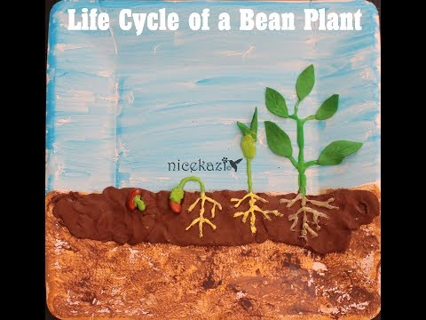How to make 3D Life cycle of a bean plant: Kids science project for school, STEM project