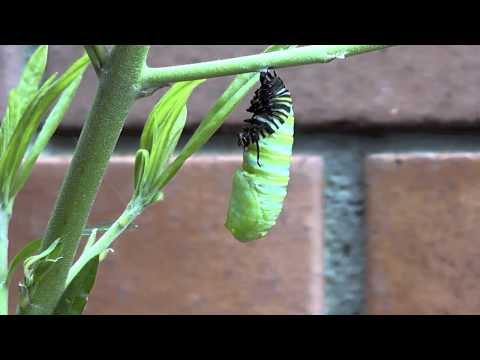 Monarch caterpillar turns into a chrysalis - real time