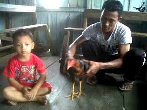 Cara Melatih Ayam Bangkok Super Yg Baru Berumur 5 Bulan video