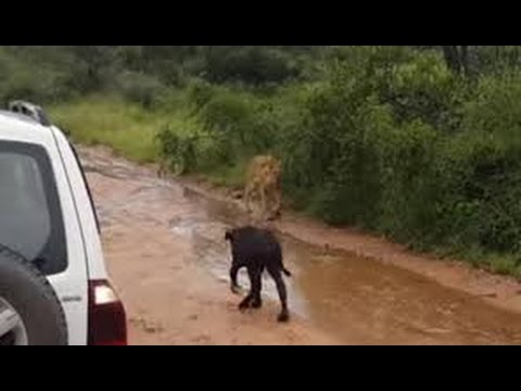 Lions Attack Baby Water Buffalo Buffalo Save Baby Lion,buffalo