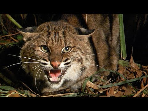 Bobcat fights Python 02 - Cat Attacks Python