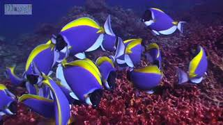 Blue Tang Surgeonfish Cleaning Coral Reef and Clown Triggerfish  Amazing Nature Apo 29 Philippines