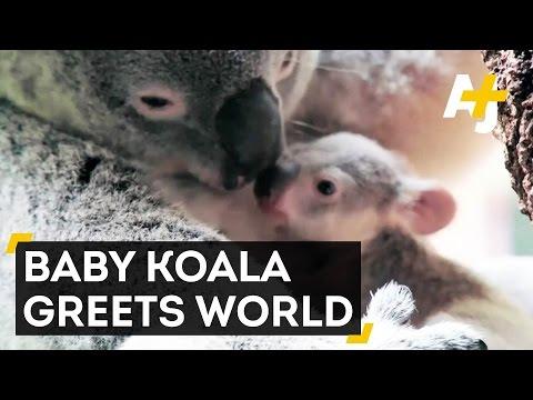 【癒し系】ママの袋から出てきた赤ちゃんコアラが超絶カワイイ!