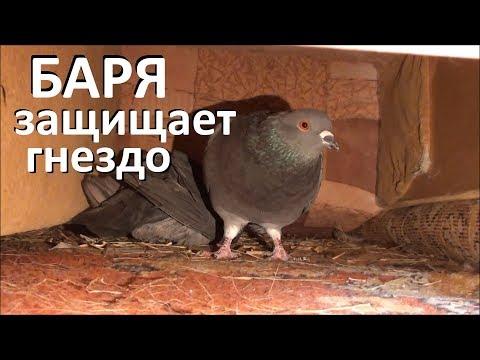 Голубь защищает гнездо от вороны
