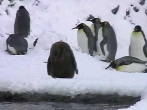 旭山動物園 空飛ぶペンギン~キングペンギン