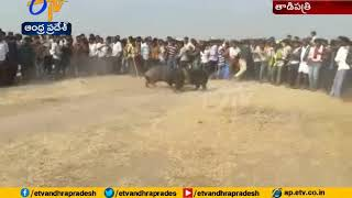 Pig Fight Competitions in Tadipatri | Anantapur | J C Prabhakar Reddy Attends
