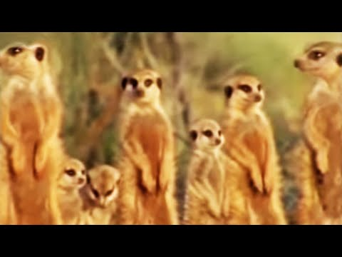 Meerkat family in Africa -  BBC wildlife