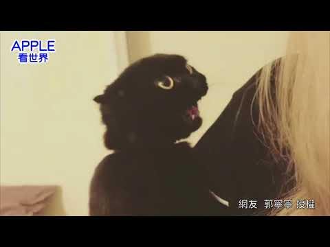 「萌寵」貓星人聽到有新喵咪要來,暴氣大罵主人:X  奴才超傻眼