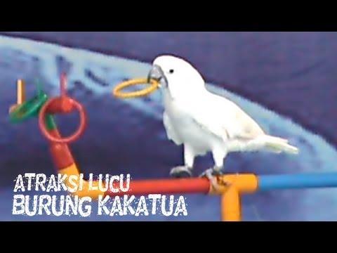 Video Lucu Banget: Video Hewan Lucu Atraksi Burung Kakatua
