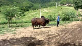 Pai D'egua D, touro PO da raça Sindi
