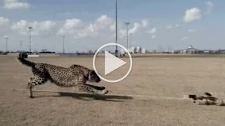 Cheetahs Run in 360°