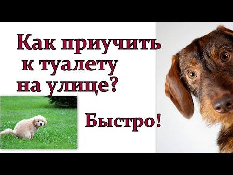 Как приучить щенка ходить на улицу быстро!  Щенок дрессировка