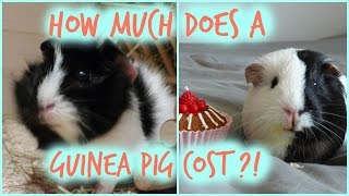 How Much Does A Guinea Pig Cost?! Monthly & Initial Costs