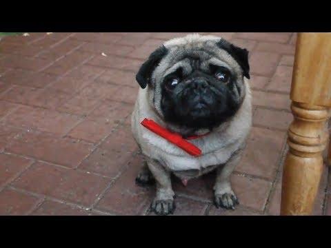 Funny pug - disrespectin his master!
