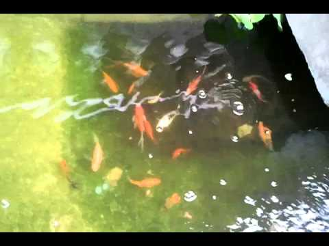 Fish pond diy barrel pond filter march 1 2011 youtube for Koi pond water murky