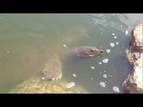 Giant African Softshell Turtles(Trionyx triunguis) In Israel River .mov