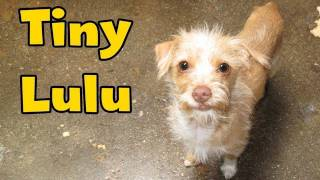Dog Rescue: Tiny Lulu; hit by a car.