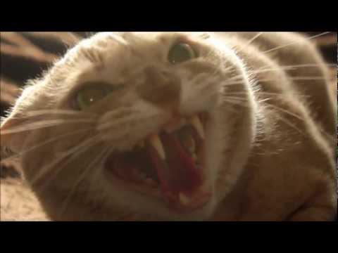 My cat growls at me