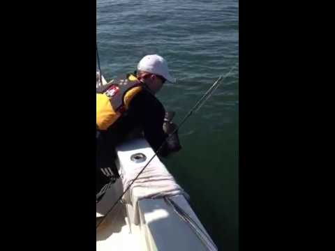 Releasing a blackfish tautog fishing in long Island sound