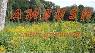 Ambush in the Goldenrod