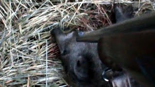 Perfect Shot In The Spine On Wild Boar Hunting-Chasse Au Sanglier-Wildschwein Jagd-