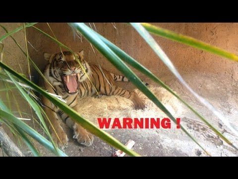 [Tiger Opens Wide ! Stay Back !] Video