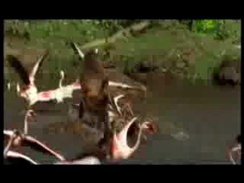 Aç Babun Flamingo Avlıyor