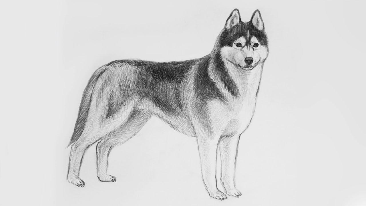 Как нарисовать щенка хаски карандашом поэтапно как настоящий