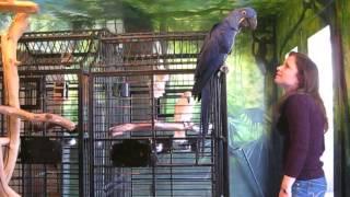 Tara Talk - Hyacinth Macaw Talking