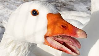 Geese Teeth are Insane and Amazing