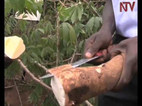 Experts advise Ugandan farmers to specialize in cassava and maize