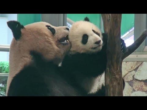 Panda falling  パンダ 熊猫