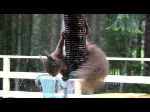 Red Squirrel on nut feeder