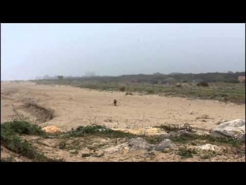Els dog-walkers poden extinguir el corriol camanegre